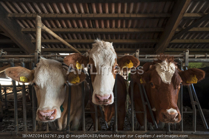 Three dairy cows in an exercise pen looking through the feed fence, Bavaria, Germany, Europe