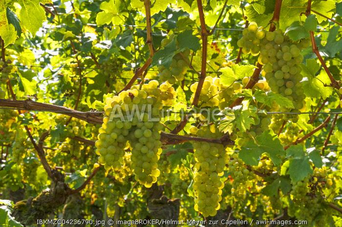 White grapes on vine, backlight, Kenzingen-Hecklingen, Baden-Wurttemberg, Germany, Europe