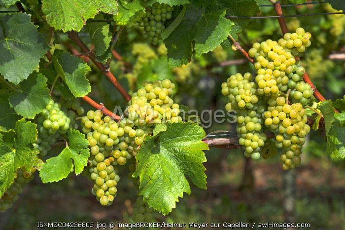 White grapes on vine, Kenzingen-Hecklingen, Baden-Wurttemberg, Germany, Europe
