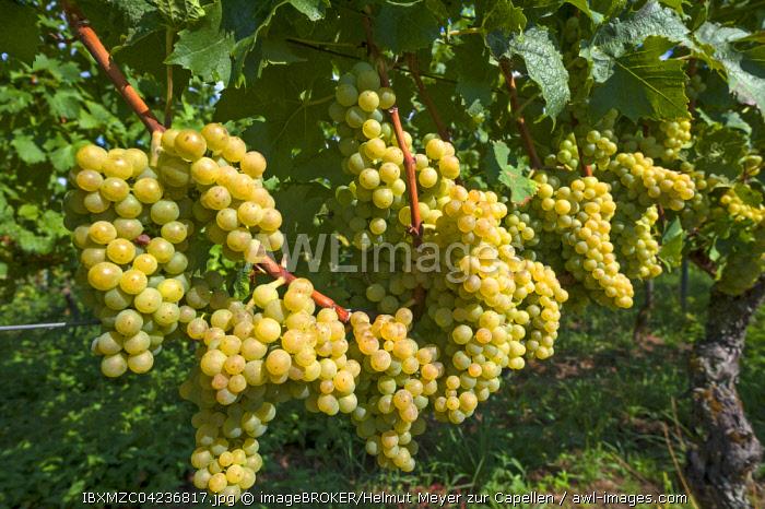 White grapes on vines, Kenzingen-Hecklingen, Baden-Wurttemberg, Germany, Europe