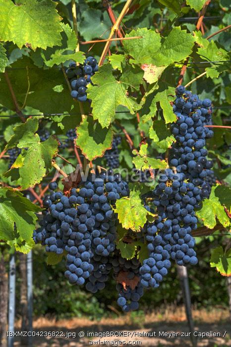 Blue grapes on vine, Kenzingen-Hecklingen, Baden-Wurttemberg, Germany, Europe