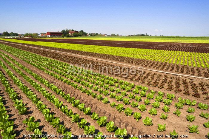 """Salat, Anbau in """"garlic country"""", vegetable growing area in Hofles near Nuremberg, Middle Franconia, Bavaria, Germany, Europe"""