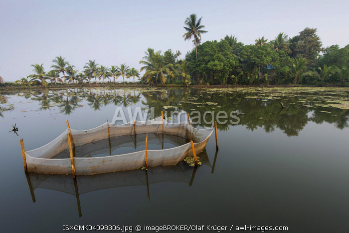 Shrimp farming in a net, Pokkali rice fields, backwaters, Ernakulam District, Kerala, India, Asia