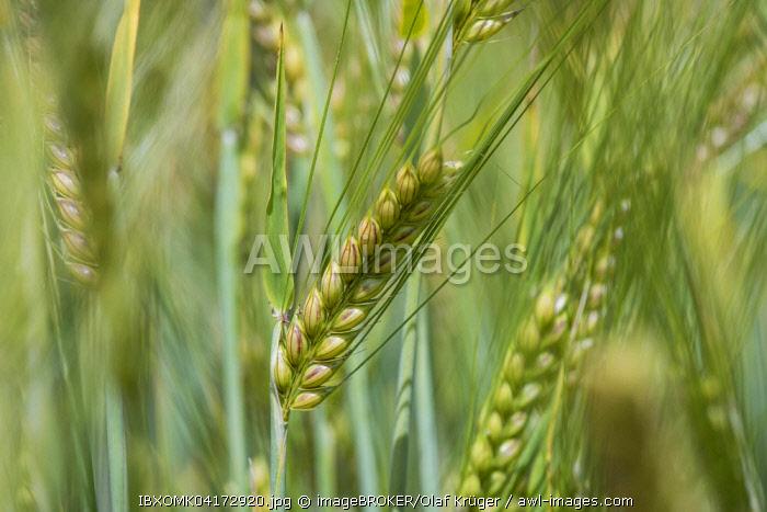Spring barley (Hordeum vulgare), Baden-Wurttemberg, Germany, Europe