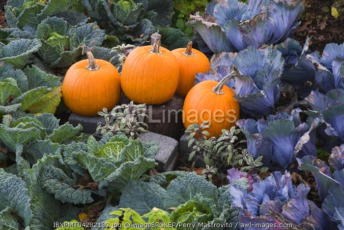 Pumpkins (Cucurbita sp.) in bed of cabbage (Brassica oleracea), autumn, Montreal Botanical Garden, Quebec, Canada, North America