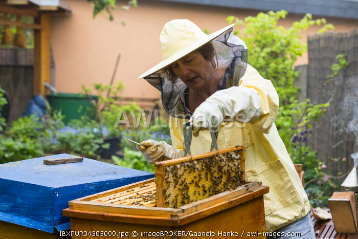 Beekeeper tending beehive, European honey bees (Apis mellifera), Germany, Europe