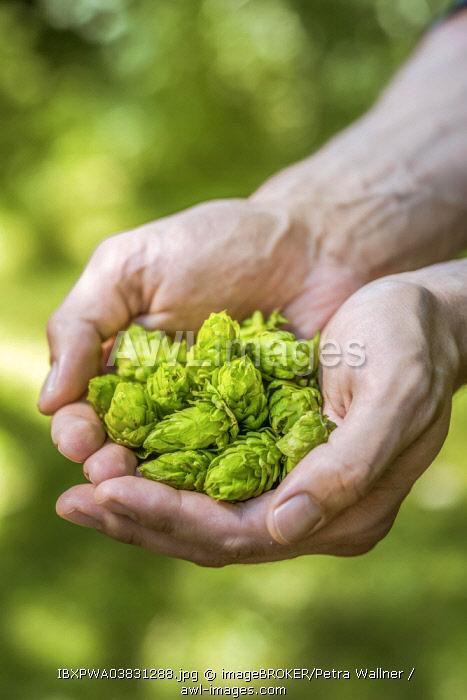 Hop umbels (Humulus lupulus) in hands