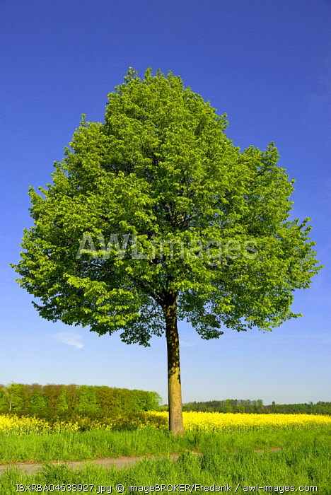 Linden tree (Tilia) at Rapefield (Brassica napus) with blue sky, Germany, Europe