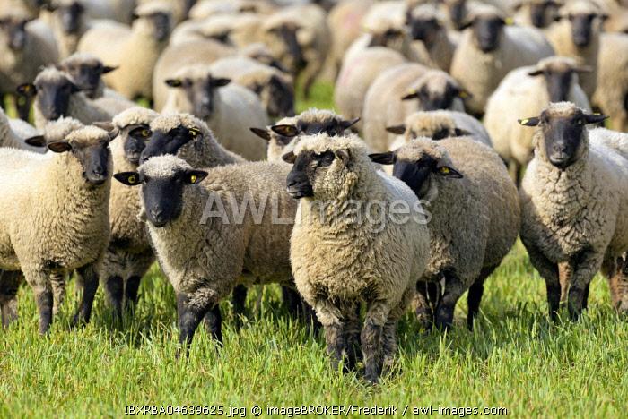 Domestic sheep (Ovis gmelini aries), herd on a pasture, North Rhine-Westphalia, Germany, Europe