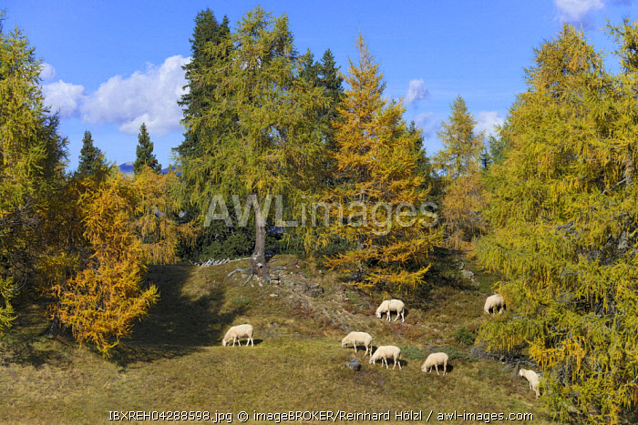 House sheep in the pasture, Egger Mahder, Oberberg, Tyrol, Austria, Europe