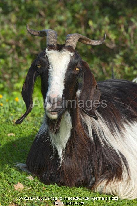 Domestic goat, portrait, Sardinia, Italy, Europe