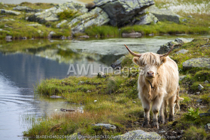 Scottish Highland cattle on the alpine pasture, Scheidseen, Galtur, Tyrol, Austria, Europe