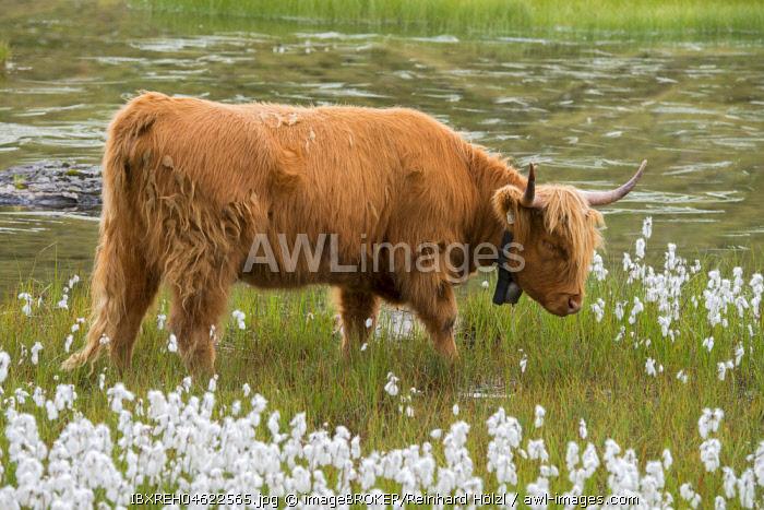 Scottish Highland cattle on the alpine pasture, Scheidseen, Galtur, Tyrol, Austria, Europe