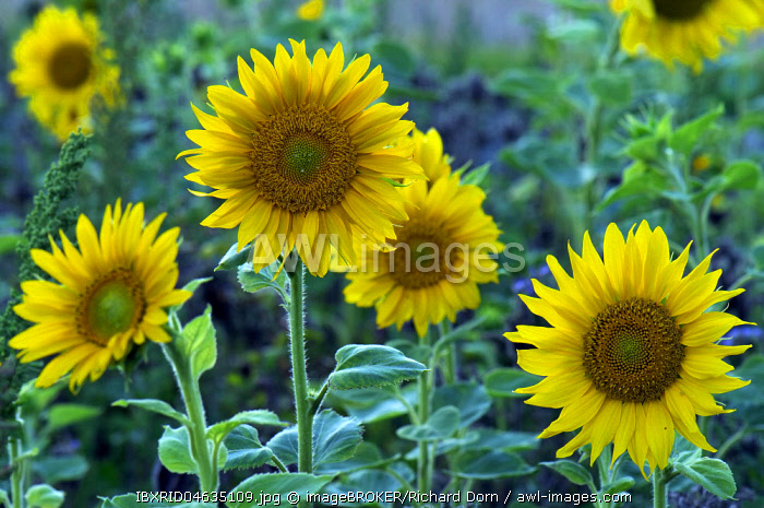 Sunflowers (Helianthus), sunflower field, North Rhine-Westphalia, Germany, Europe
