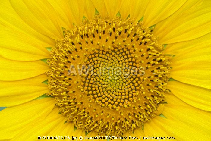 Sunflower (Helianthus), sunflower field, North Rhine-Westphalia, Germany, Europe