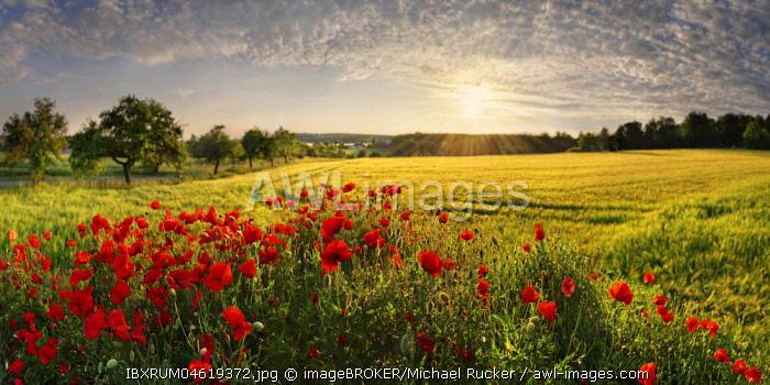 Corn poppies (Papaver rhoeas) in the barley field at sunset, Pietenfeld, Altmuhltal, Bavaria, Germany, Europe