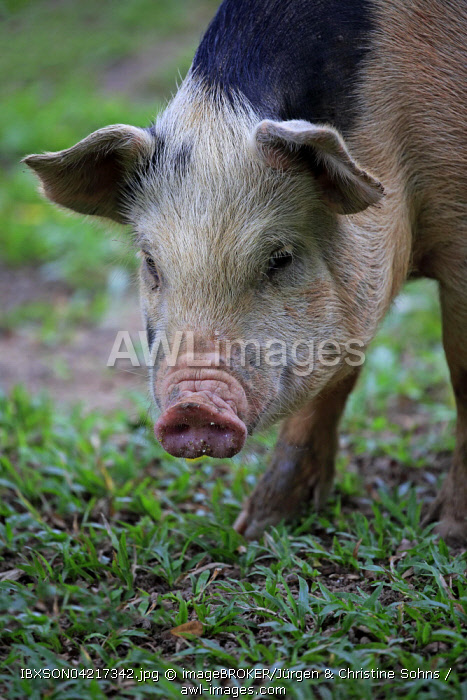 Domestic pig (Porcus domesticus), female, portrait, Pantanal, Mato Grosso, Brazil, South America