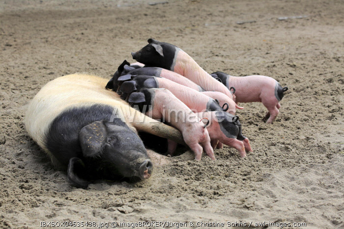 Domestic pig (Sus scrofa domesticus), mother sow suckling piglets, female, young animals, spotted, Germany, Europe