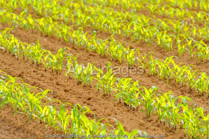 Small Corn plants (Zea mays) in rows on field, Baden-Wurttemberg, Germany, Europe