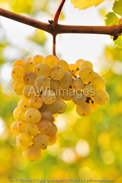 Riesling grapes, Baden-Wurttemberg, Germany, Europe