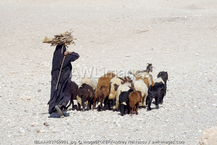 Bedouin woman carrying sugarcane on her head, with a herd of goats, Luxor, Luxor Governorate, Egypt, Africa