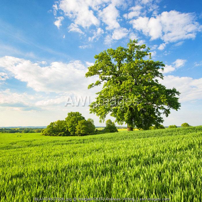 Landscape with oaks, solitary tree, grain field, spring, Mecklenburg-Western Pomerania, Germany, Europe