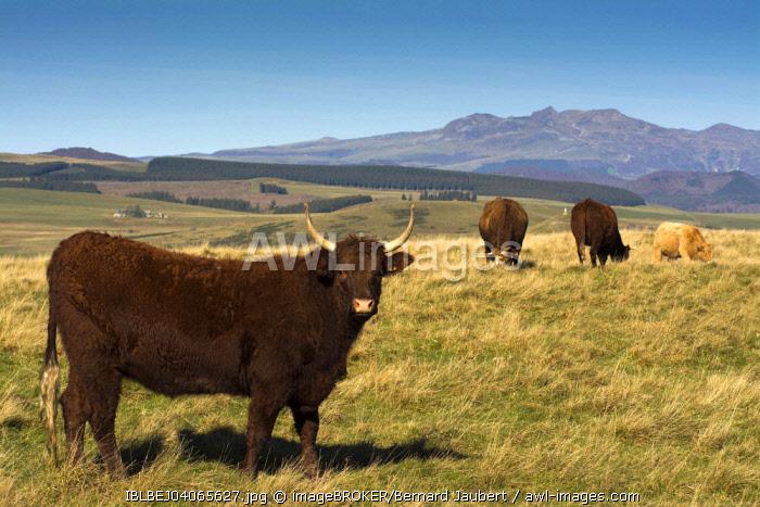 Salers cattle, Massif of Sancy, Departement Puy-de-Dome, Auvergne, France, Europe