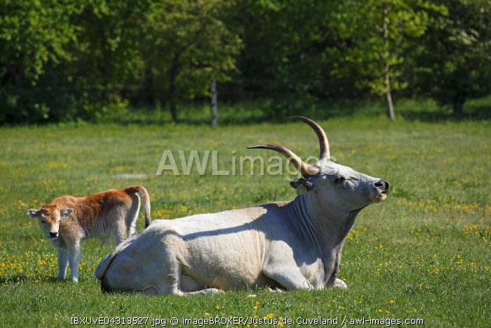 Hungarian Grey cattle (Bos primigenius taurus), cow with calf on pasture, Hungary, Europe