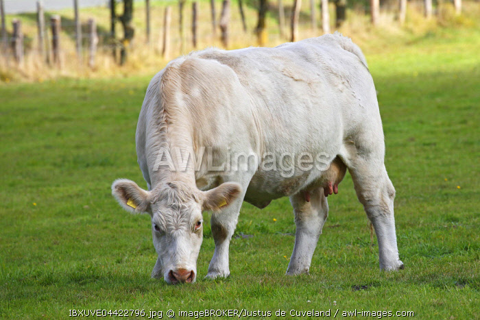 Charolais cow (Bos primigenius taurus) grazing in a pasture, Schleswig-Holstein, Germany, Europe
