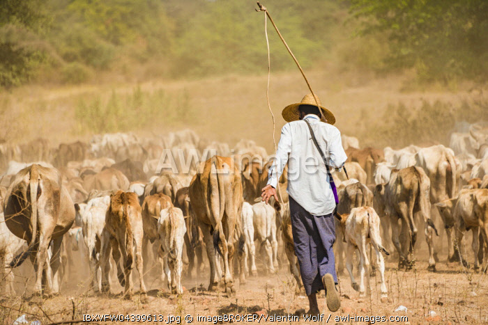 Cattle drover, farmer with cow herd, Bagan, Mandalay Division, Myanmar, Asia