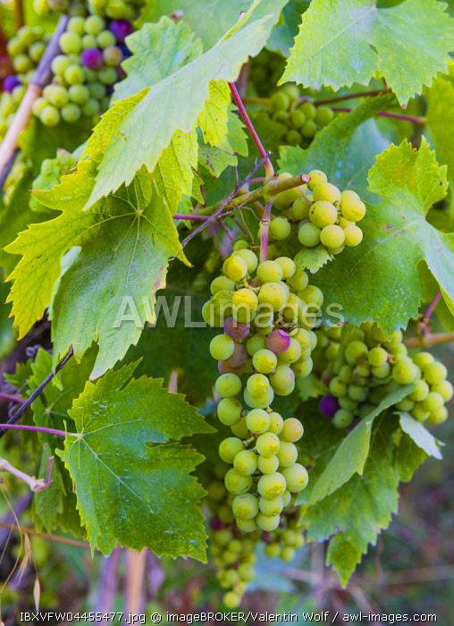 Grape vines with unripe blue grapes, vineyards, Lake Bolsena, Bolsena, Viterbo, Lazio, Italy, Europe