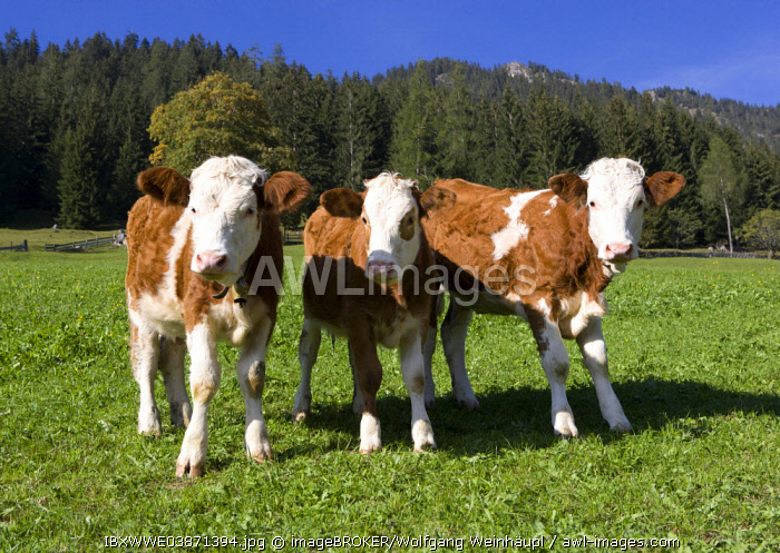 Pasture, calves, Alpbach valley, Alpbach, Tyrol, Austria, Europe