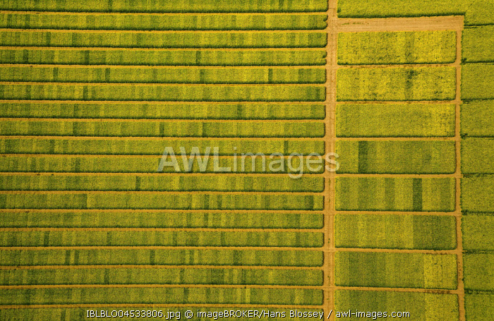 Rape field with divisions for test sowing, agriculture, agriculture field, agriculture test field, seed optimization, yellow rape field in green farmland, aerial photo, Soest, Soesterbode, North Rhine-Westphalia, Germany, Europe