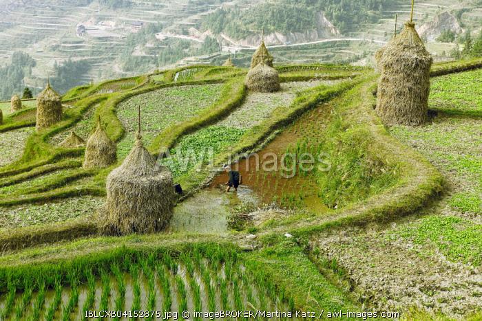 Terraced fields in Dong village, Tang'an, Guizhou Province, China, Asia