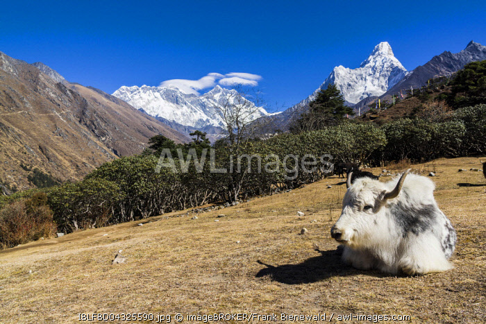 White yak (Bos mutus) lying in a meadow, Mt. Everest and Ama Dablam in the distance, Tengboche, Solo Khumbu, Nepal, Asia