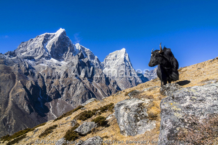 View of the mountains Cholatse and Tabuche Peak, a black yak (Bos mutus) standing on the slope, Dingboche, Solo Khumbu, Nepal, Asia