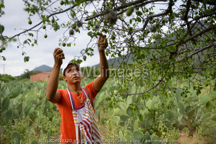 Teenager harvesting fruits of the Umbu tree (Spondias tuberosa), Caladinho, Uaua, Bahia, Brazil, South America