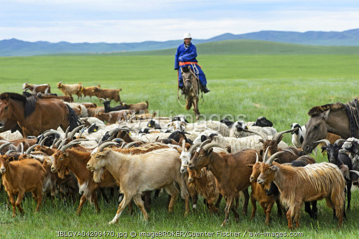 Mongolian nomad on horse, herding cashmere goats (Capra hircus laniger), Dashinchilen, Bulgan Aimag, Mongolia, Asia