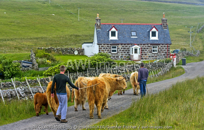 Highland Cattle (Bos taurus) or Kyloe, herd walking across the Scottish countryside with small farms or crofts, Assynt, Scotland, United Kingdom, Europe