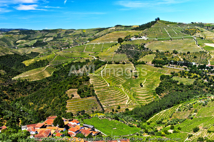 Vineyard region Alto Douro in the valley of Rio Pinhao, Portugal, Europe