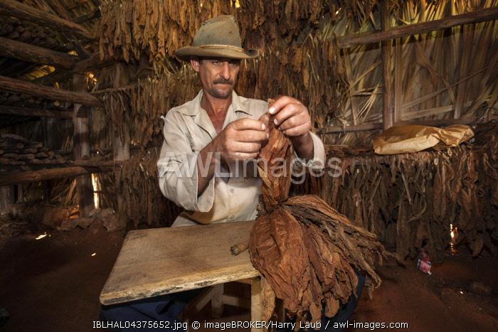 Tobacco farmer in a tobacco barn preparing tobacco for a cigar, near Vinales, Vinales Valley, Pinar del Rio Province, Cuba, Central America