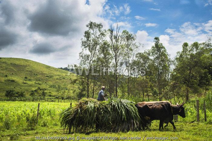 Rural worker on an ox cart, Coffee Valley region, Valenca, Rio de Janeiro State, Brazil, South America