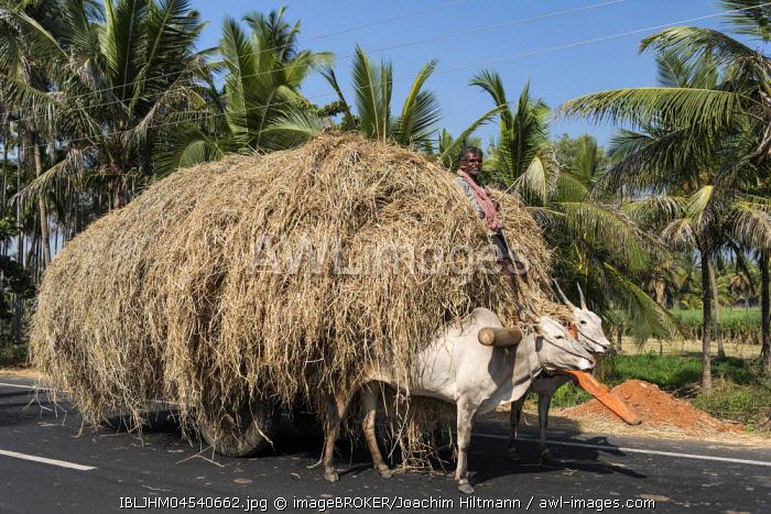 Man on ox cart, loaded with straw, near Mysuru, Karnataka, India, Asia