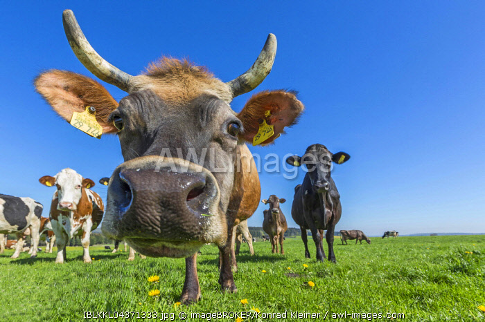 Allgau cows, brown cattle, on a pasture, looking at camera, Swabia, Bavaria, Germany, Europe