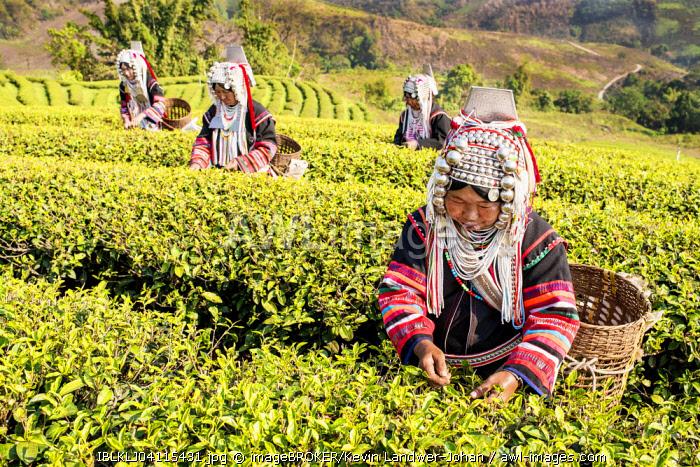 Akha hill tribe women picking tea, Doi Mae Salong, North Thailand, Thailand, Asia