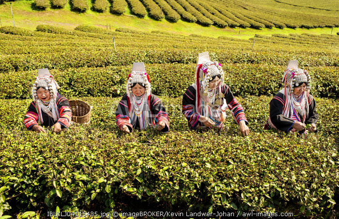 Akha hill tribe women picking tea, Doi Mae Salong, North Thailand, Thailand, Asia