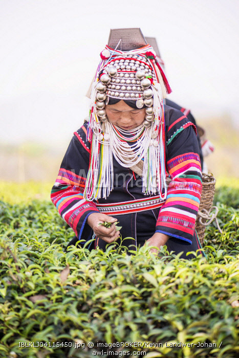 Akha hill tribe woman picking tea, Doi Mae Salong, North Thailand, Thailand, Asia