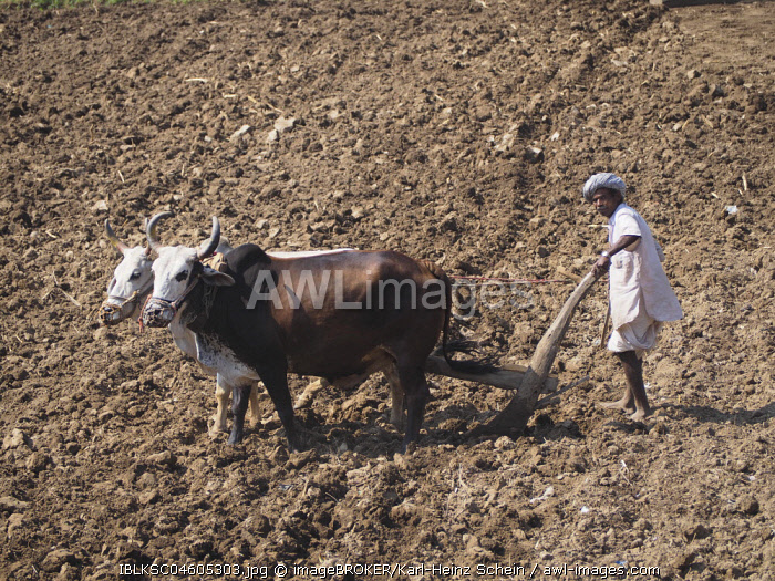 A farmer uses cattle and a plough made of wood for traditional agriculture on a field, Ranakpur, Rajasthan, India, Asia