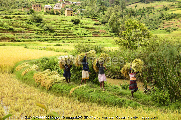 Rice farmers at harvest time, women carry bundles of rice, south of Ambositra, Madagascar, Africa
