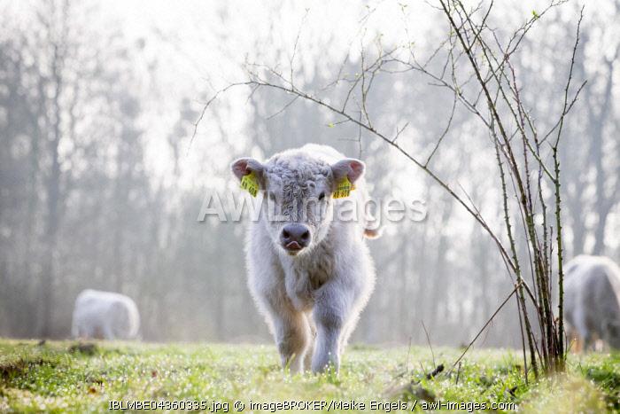 Galloway cattle (Bos primigenius taurus) with blond pigmentation, small calf, Nature reserve Doberitz Heath, Priort, Brandenburg, Germany, Europe